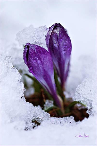 Davis Photograph - Spring Snow by Joan Davis