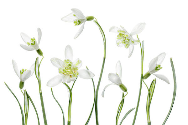 White Beauty Photograph - Spring Snowdrops by Mandy Disher