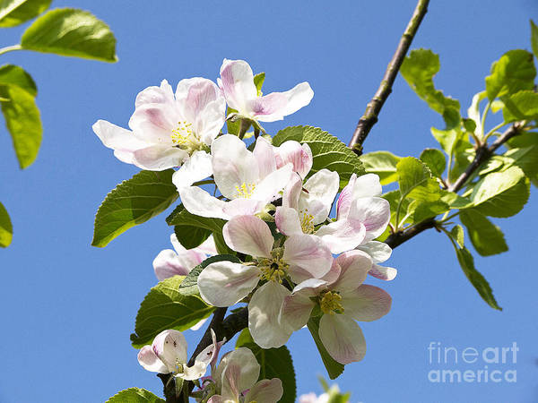 Photograph - Blossom In The Spring Sunshine by Brenda Kean