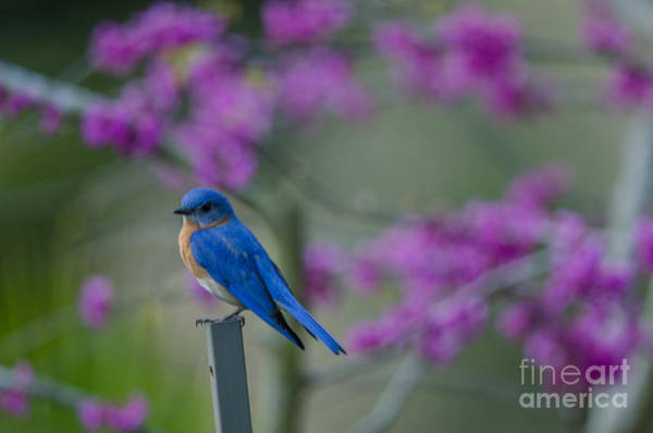 Southern Ontario Photograph - Spring Time Blue Bird by Dale Powell