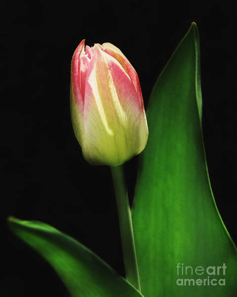 Wall Art - Photograph - Spring Tulip by Emily Kelley