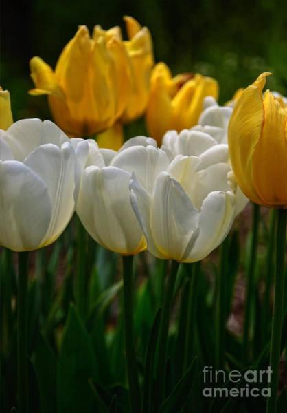 Photograph - Spring Tulips by Debra Fedchin