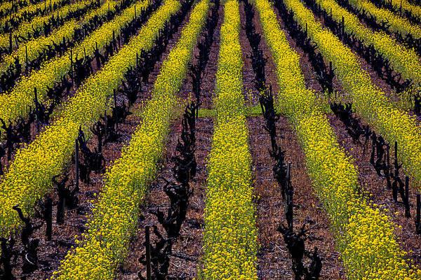 Mustard Photograph - Spring Vinyards by Garry Gay