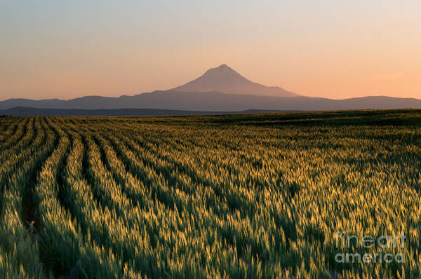 Mt Hood Photograph - Spring Wheat by Mike  Dawson