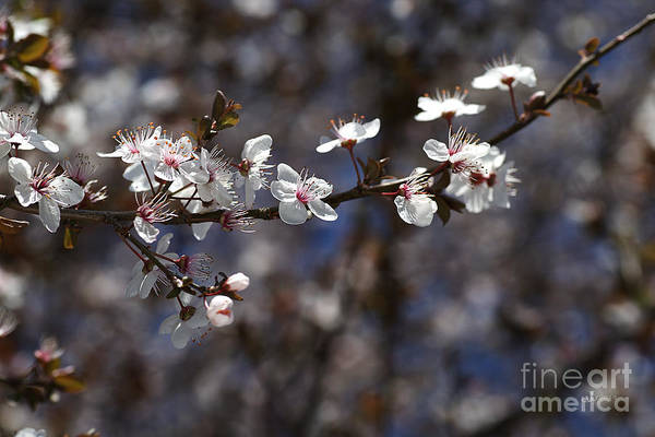Spring White Blossom Art Print