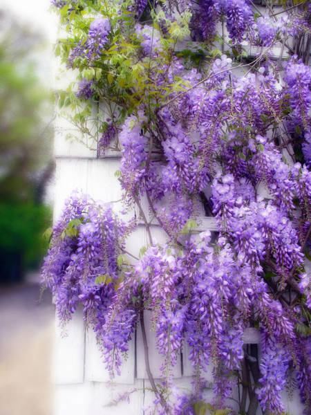 Photograph - Spring Wisteria by Jessica Jenney