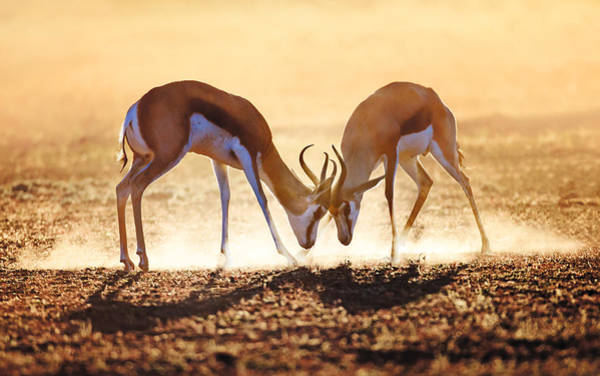 Dusty Photograph - Springbok Dual In Dust by Johan Swanepoel