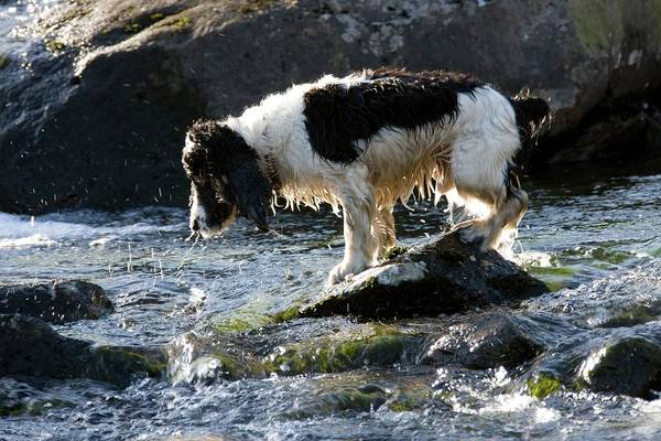 Spaniel Photograph - Springer Spaniel by David Woodfall Images/science Photo Library