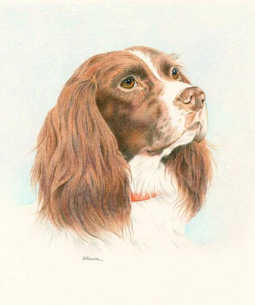 Welsh Springer Spaniel Painting - Springer Spaniel by Fiona Hooper