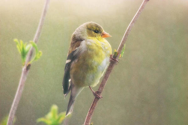 Goldfinch Photograph - Springtime Goldfinch by Susan Capuano