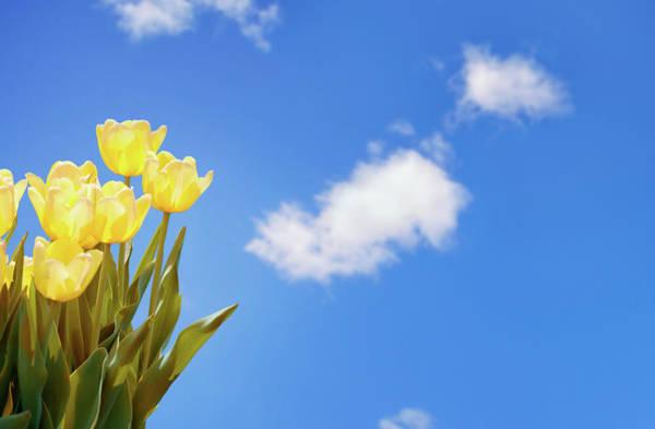 Dutch Tulip Photograph - Springtime by Nicolasmccomber