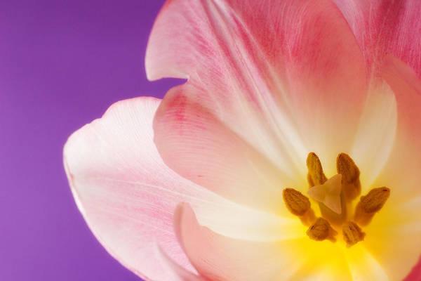 Wall Art - Photograph - Springtime Tulip by Carol Leigh