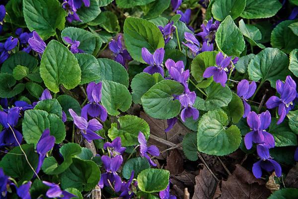 Photograph - Springtime Violets by Mary Lee Dereske