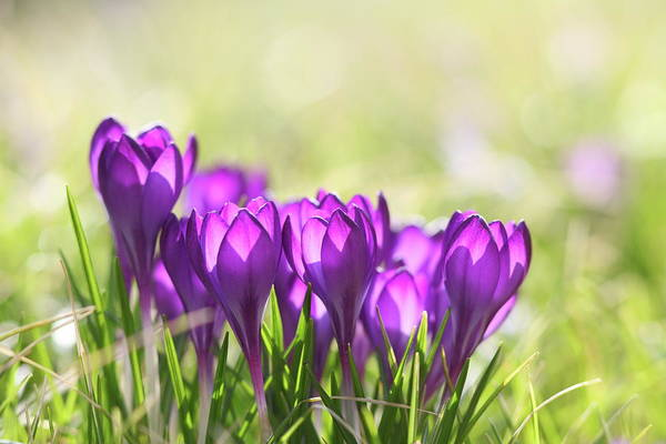 Wall Art - Photograph - Springtime With Crocus by Schmitzolaf