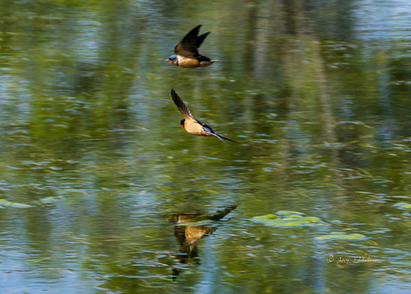 Photograph - Sprinting Barn Swallows by Edward Peterson