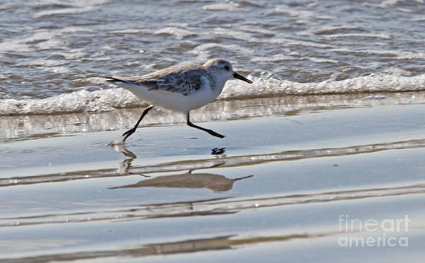 Photograph - Sprinting Sanderling by Kevin McCarthy