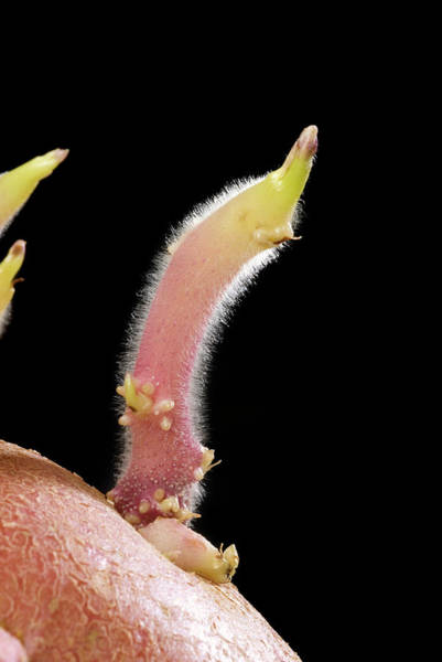 Tubers Photograph - Sprouting Potato by Steve Horrell/science Photo Library