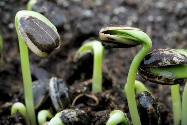 Sunflower Seeds Photograph - Sprouting Seedlings by Steve Percival/science Photo Library