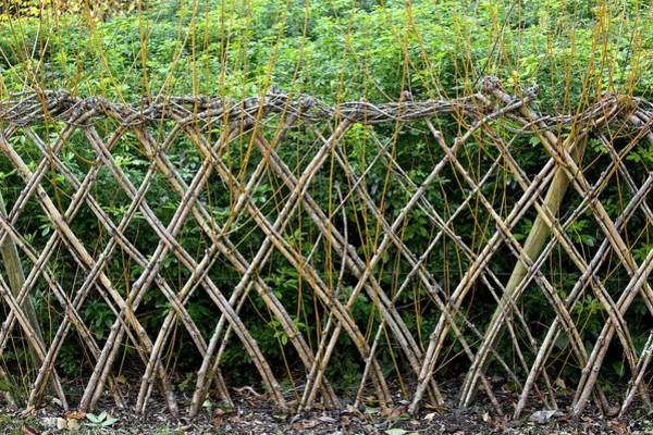 Sprouting Willow Fence Art Print by Bob Gibbons