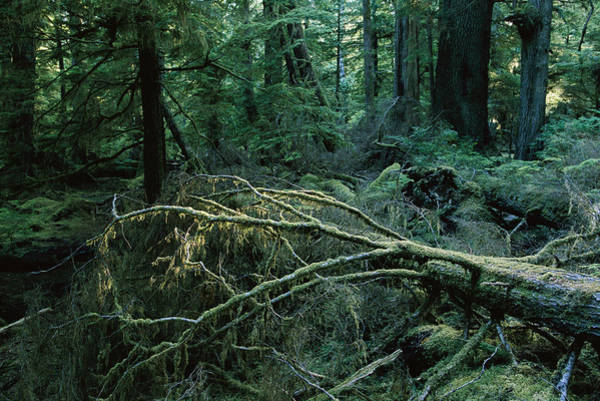 Queen Charlotte Islands Wall Art - Photograph - Spruce And Cedar Old Growth Forest by Peter Essick