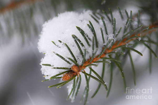 Wall Art - Photograph - Spruce Branch With Snow by Elena Elisseeva