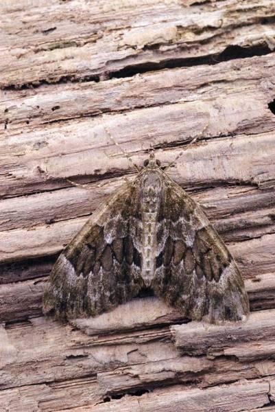 Spruce Photograph - Spruce Carpet Moth by David Aubrey