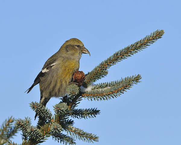 Photograph - Spruce Cone Feeder by Tony Beck