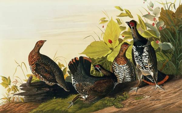 Wall Art - Photograph - Spruce Grouse by Natural History Museum, London/science Photo Library
