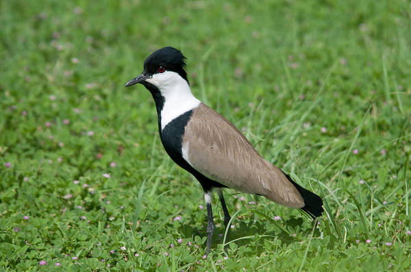 Wing Back Wall Art - Photograph - Spur-winged Plover by Nigel Downer