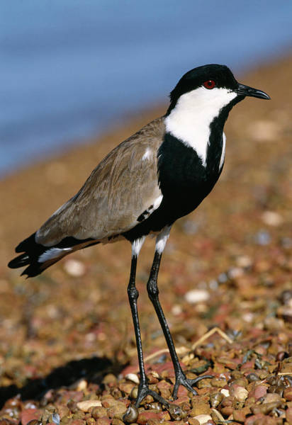 Spur-winged Plover Art Print