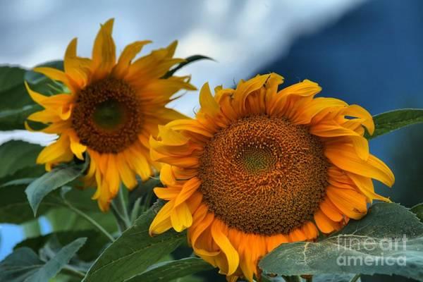 Wall Art - Photograph - Squamish Sunflowers by Adam Jewell