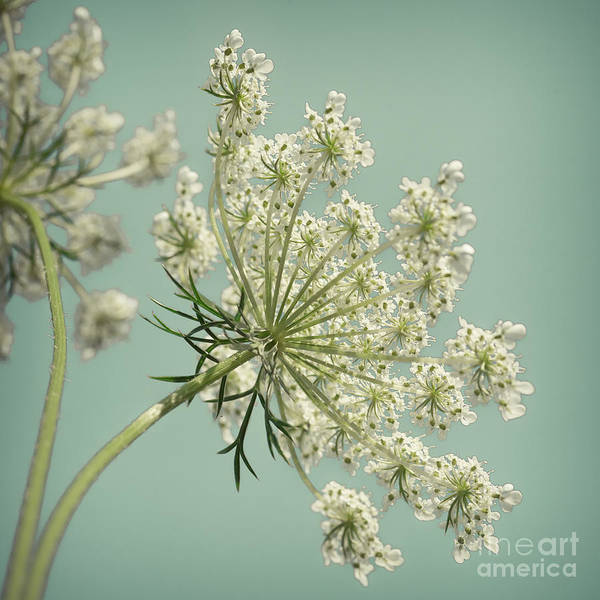 Wall Art - Photograph - Square Queen Anne's Lace 1 by Lucid Mood