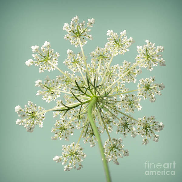 Chartreuse Photograph - Square Queen Anne's Lace 3 by Lucid Mood