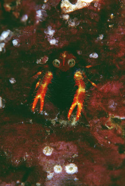 Mabul Photograph - Squat Lobster by Matthew Oldfield/science Photo Library