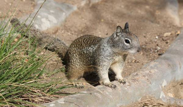 Photograph - Squirrel - 2  by Christy Pooschke