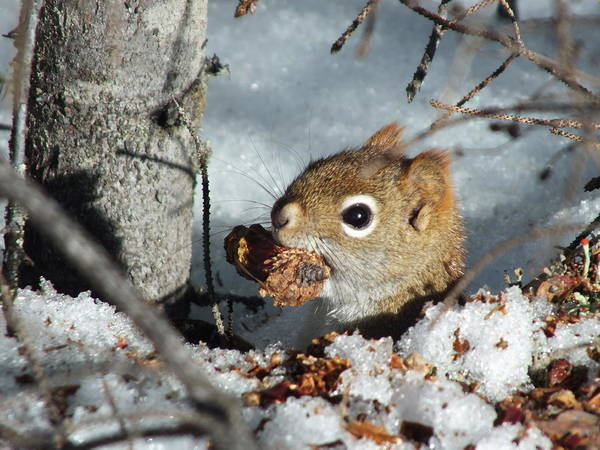 Aroostook County Photograph - Squirrel 2 by Gene Cyr