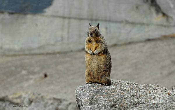 Photograph - Squirrel At Lover's Point  by Susan Wiedmann