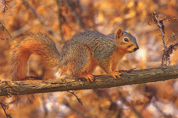 Photograph - Squirrel  by Brian Cross