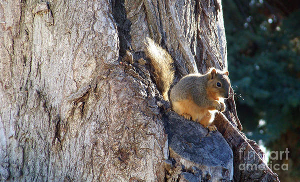Photograph - Squirrel by Charles Robinson