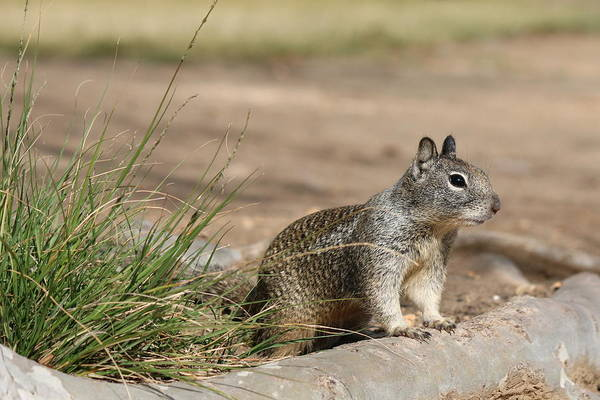 Photograph - Squirrel  by Christy Pooschke