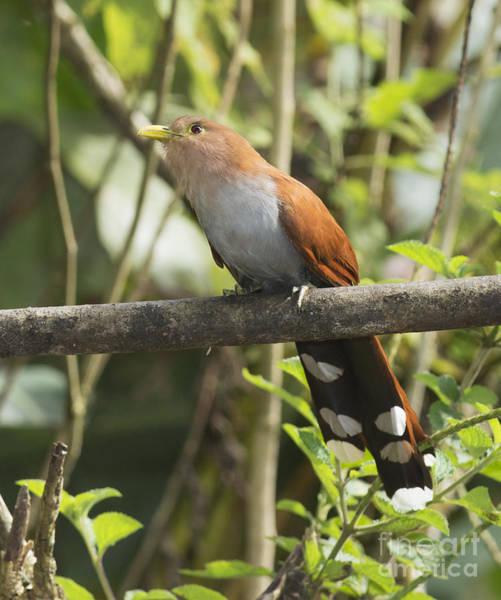 Photograph - Squirrel Cuckoo by Dan Suzio