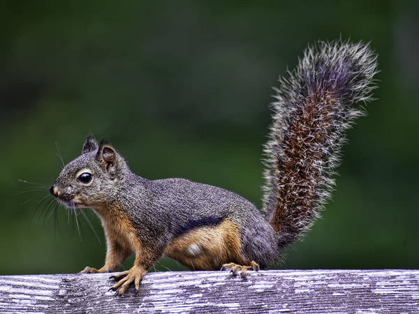 Photograph - Squirrel by Dan McManus