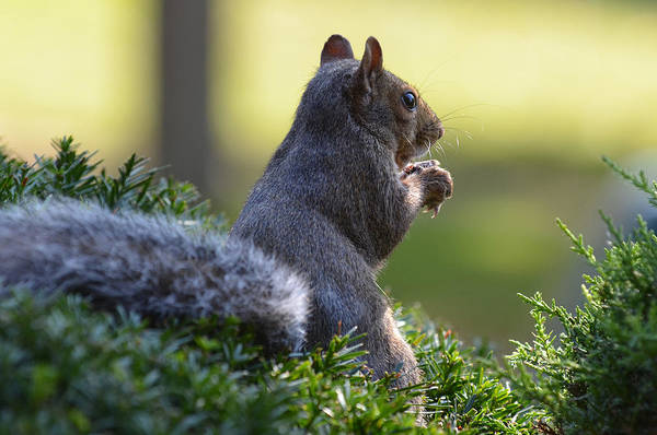 Photograph - Squirrel by Dragan Kudjerski