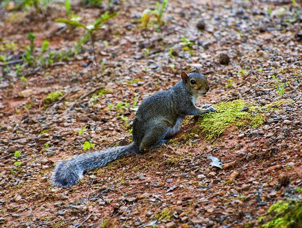 Digital Art - Squirrel Eating Moss by Chris Flees