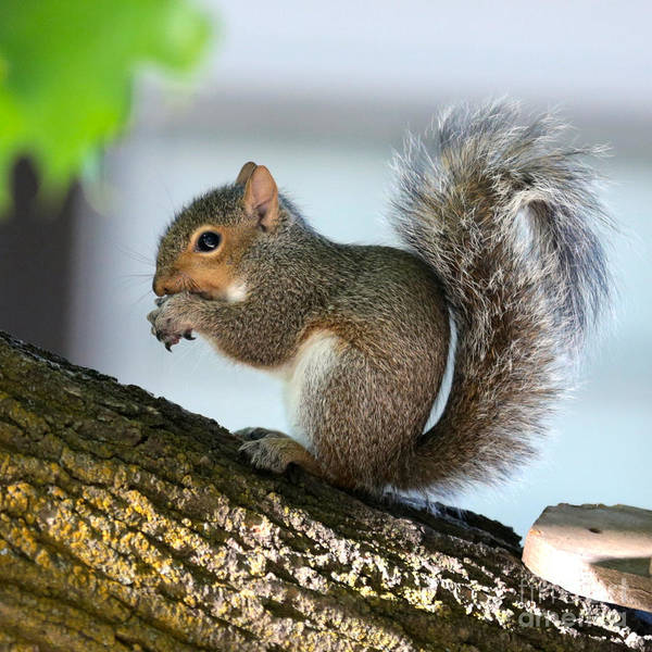 Photograph - Squirrel Friend by Carol Groenen