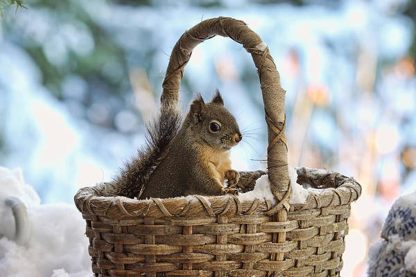 Photograph - Squirrel In A Snowy Basket In Winter by Peggy Collins