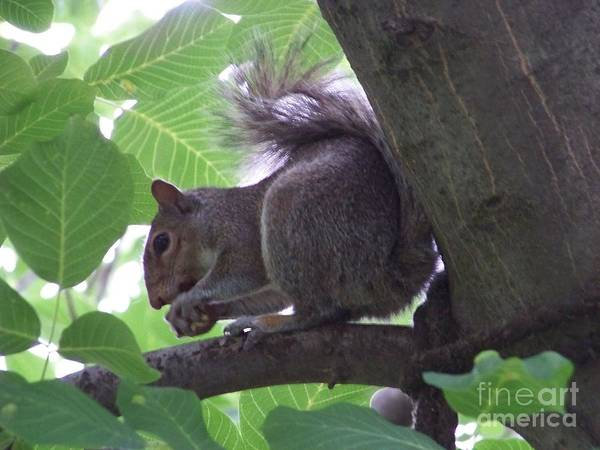Photograph - Squirrel In A Tree by Charles Robinson