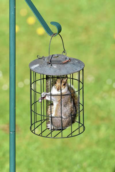 Grey Squirrel Photograph - Squirrel In Bird Feeder by Dr P. Marazzi