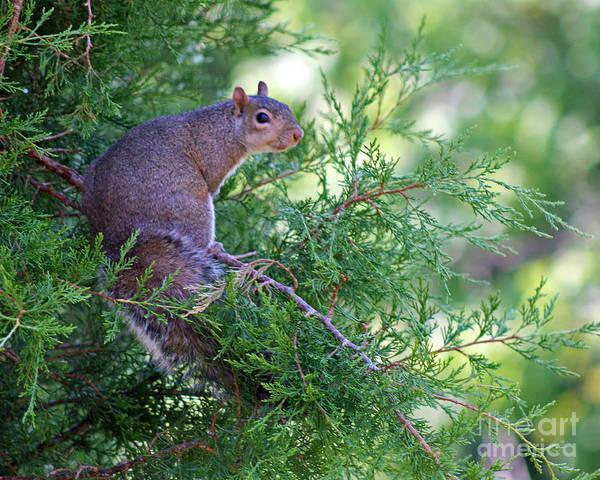 Photograph - Squirrel In Evergreen by Karen Adams