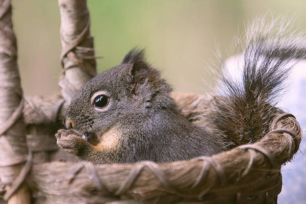 Photograph - Squirrel In His Comfort Zone by Peggy Collins